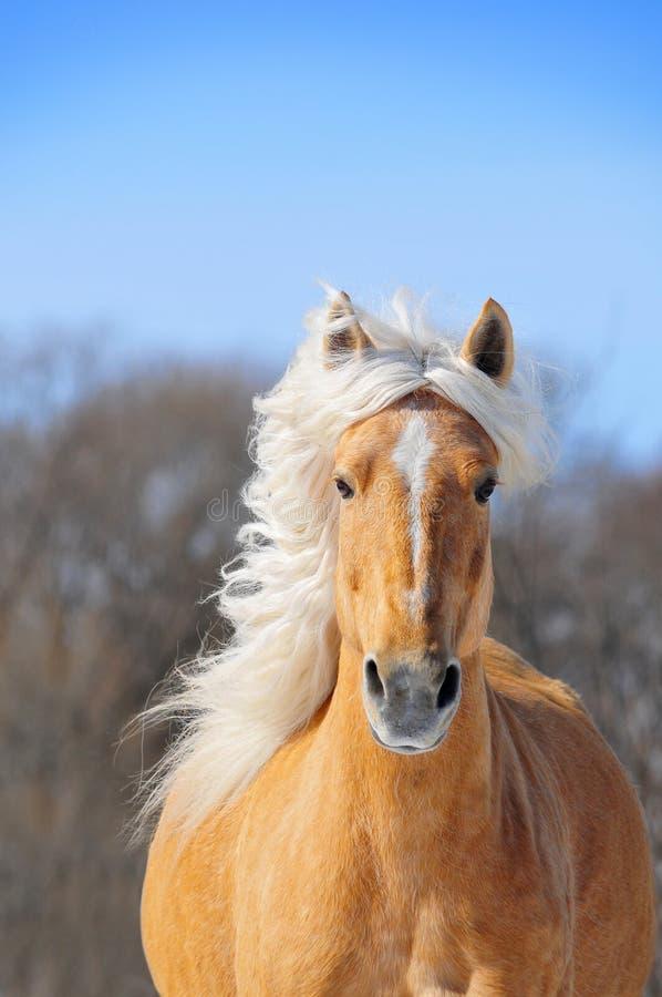 Retrato running do cavalo agradável do palomino na mola fotografia de stock royalty free