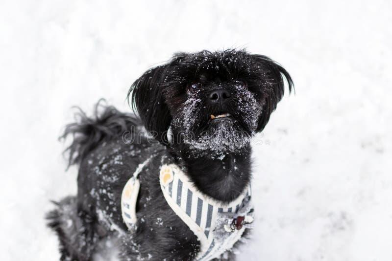 Retrato russo preto do fenótipo colorido do cão de regaço com os flocos de neve em sua cara em um fundo da neve no inverno fotos de stock