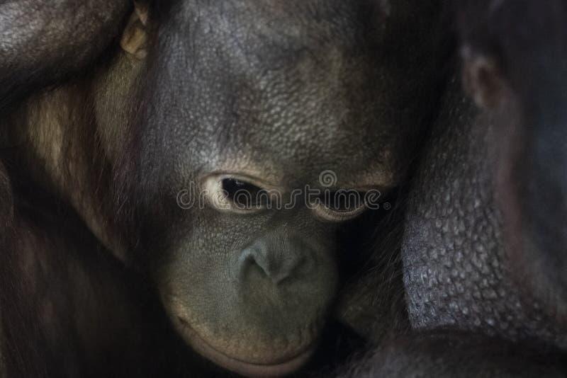 Retrato sério da cara do macaco novo do macaco do orangotango foto de stock