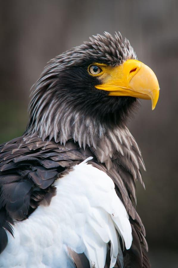 Retrato se Steller& x27; águia de mar de s, pelagicus do Haliaeetus imagens de stock royalty free