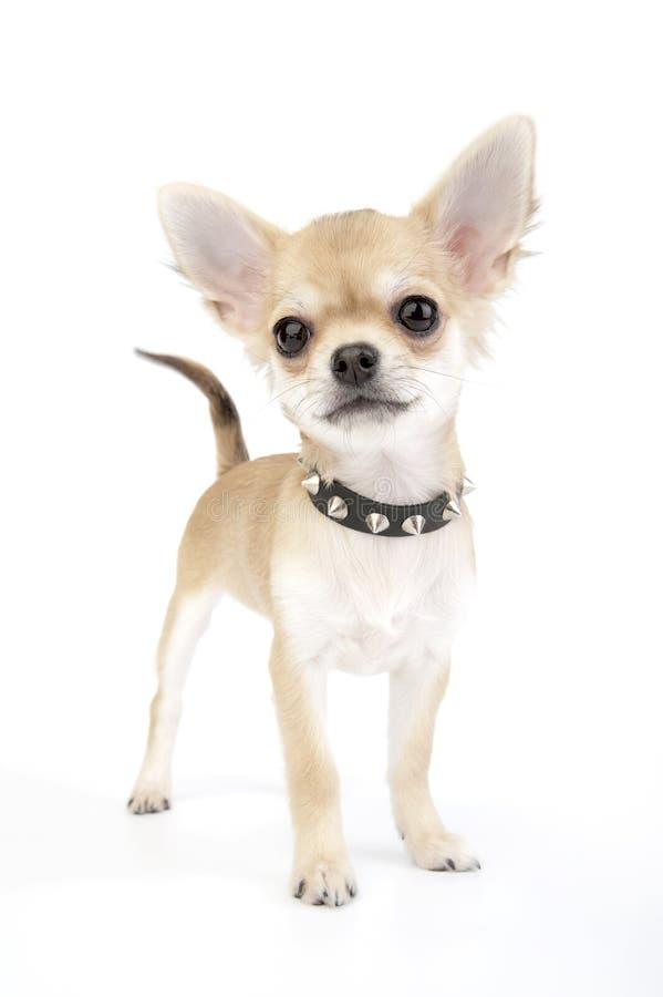 Retrato self-confident pequeno do filhote de cachorro da chihuahua fotografia de stock royalty free