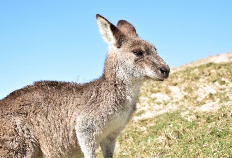Retrato selvagem do canguru fotografia de stock