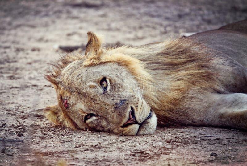 Retrato Selvagem Do Leão Fotos de Stock Royalty Free