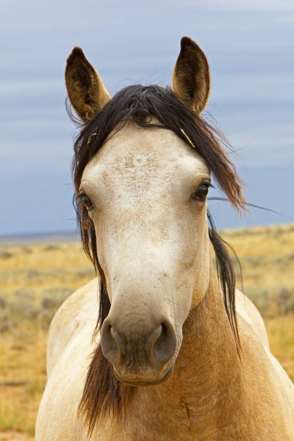 Retrato selvagem do mustang fotografia de stock royalty free