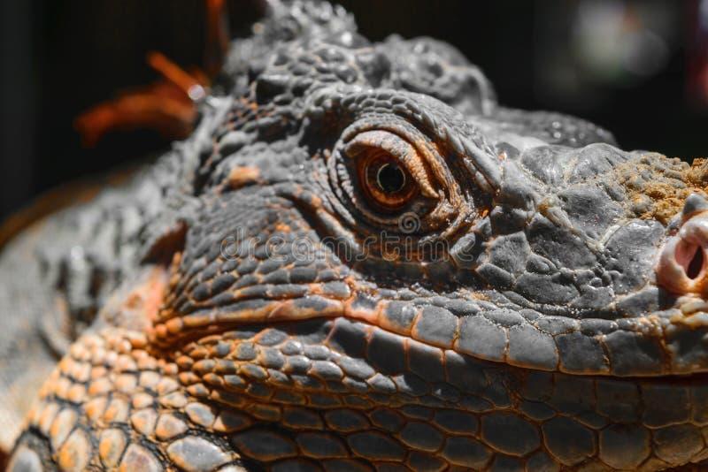 Retrato seriamente de olhar a iguana alaranjada em Bali, Indonésia foto de stock