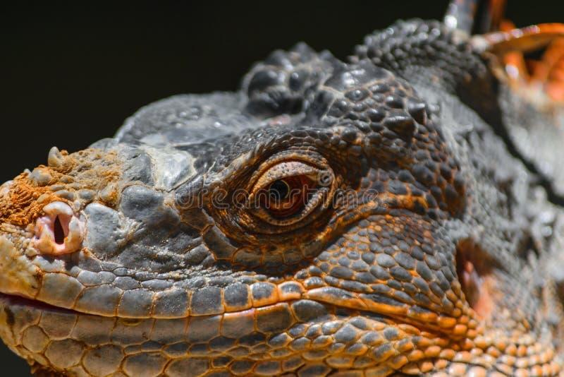 Retrato seriamente de olhar a iguana alaranjada em Bali, Indonésia imagem de stock royalty free
