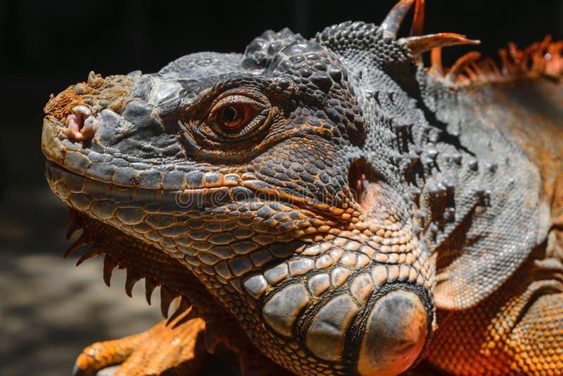 Retrato seriamente de olhar a iguana alaranjada em Bali, Indonésia imagens de stock
