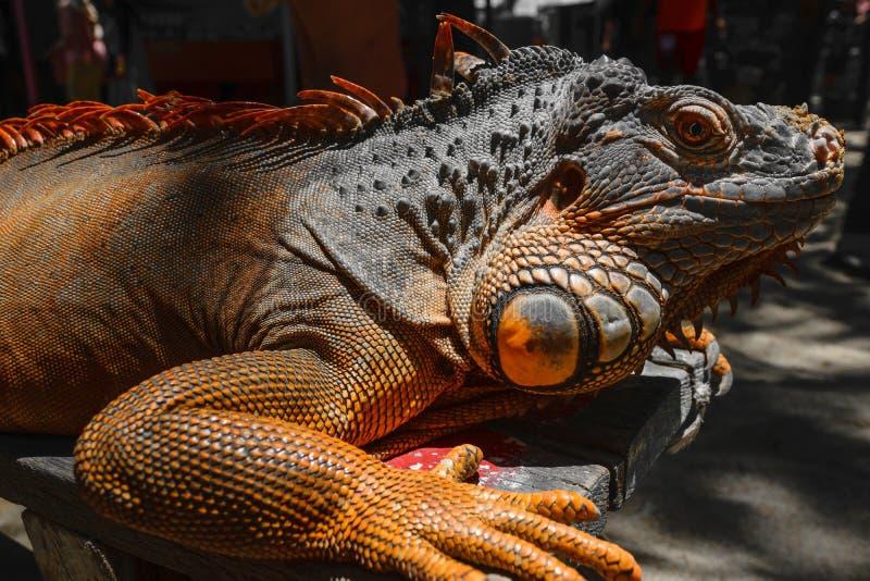 Retrato seriamente de olhar o assento alaranjado da iguana no fundo de madeira em Bali, Indonésia fotografia de stock royalty free