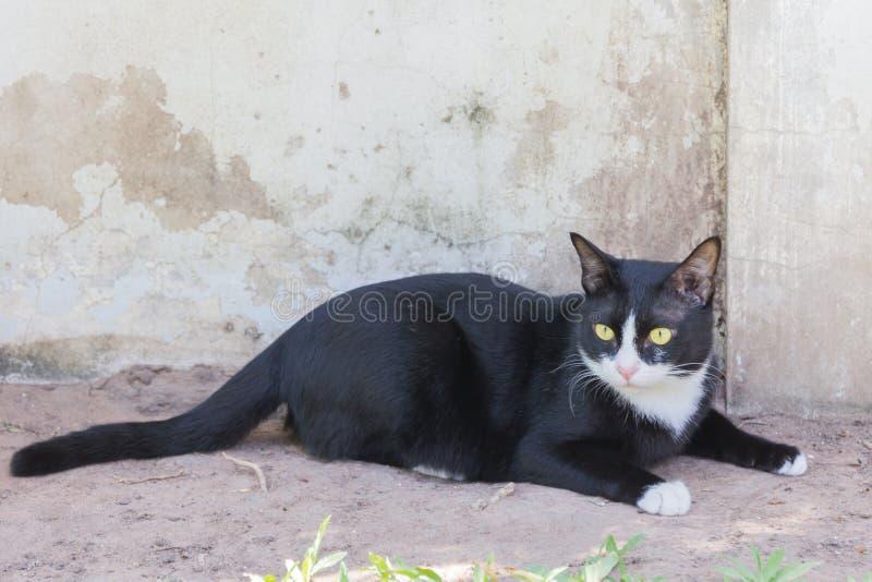 Retrato siniestro espeluznante de la cara del gato negro fotografía de archivo libre de regalías