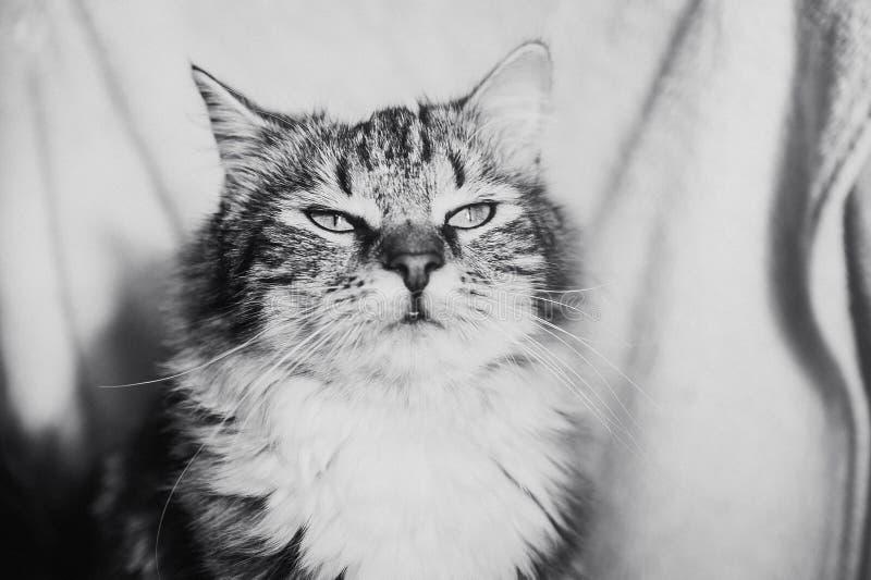 Retrato soñador del gato rayado marrón lindo horizontal en blanco y negro imagen de archivo