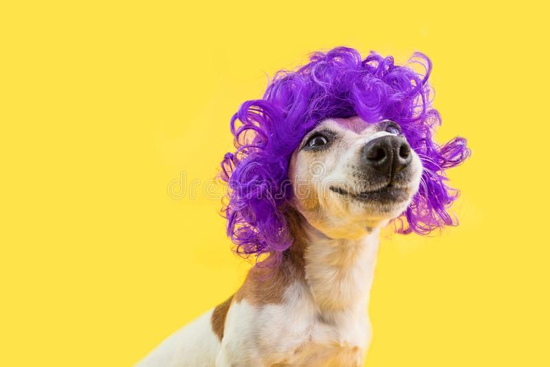 Retrato sonriente adorable del perro en peluca violeta rizada Fondo brillante amarillo Emociones positivas fotos de archivo