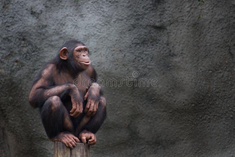 Retrato sozinho do chimpanzé novo, agachamento de assento em uma parte de madeira fotos de stock