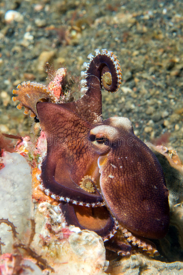 Retrato subaquático do polvo do coco fora do ninho foto de stock