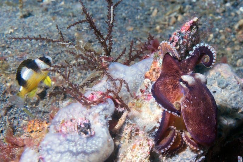 Retrato subaquático do polvo do coco fora do ninho imagem de stock