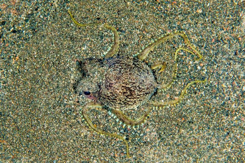 Retrato subaquático do polvo do coco que esconde na areia fotografia de stock royalty free