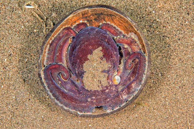 Retrato subaquático do polvo do coco que esconde na areia imagem de stock