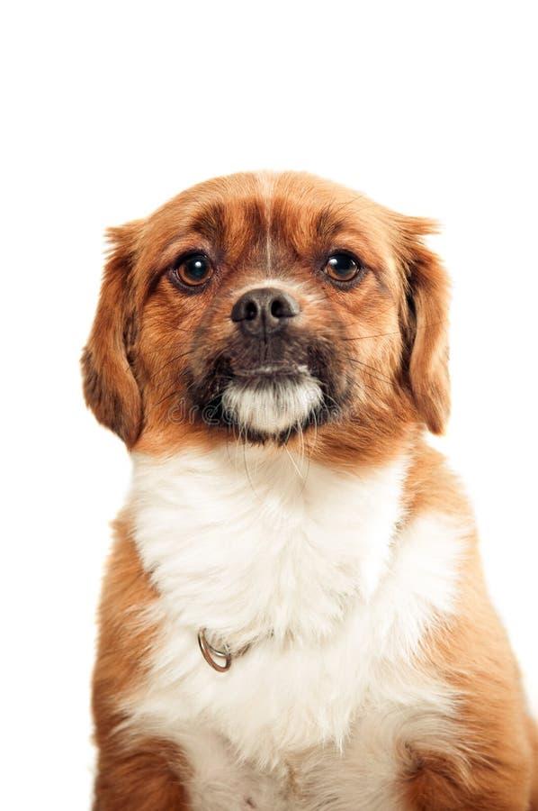 Retrato tibetano del perro de aguas fotografía de archivo libre de regalías