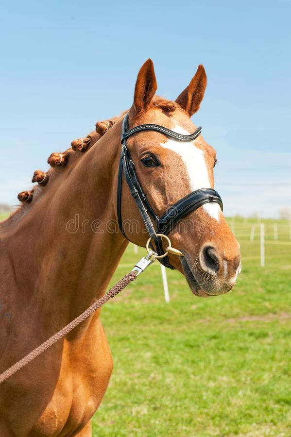 Retrato trenzado excelente del caballo de la castaña Summe multicolor fotos de archivo libres de regalías