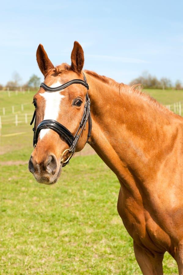 Retrato trenzado excelente del caballo de la castaña Summe multicolor fotografía de archivo