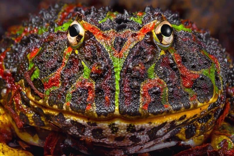 Retrato tropical grande de la rana con el modelo interesante foto de archivo
