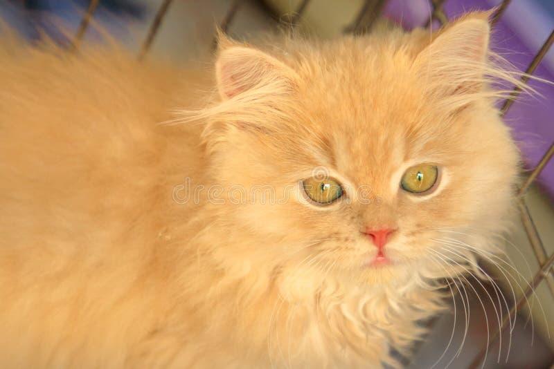 Retrato turco do gato do angora imagens de stock