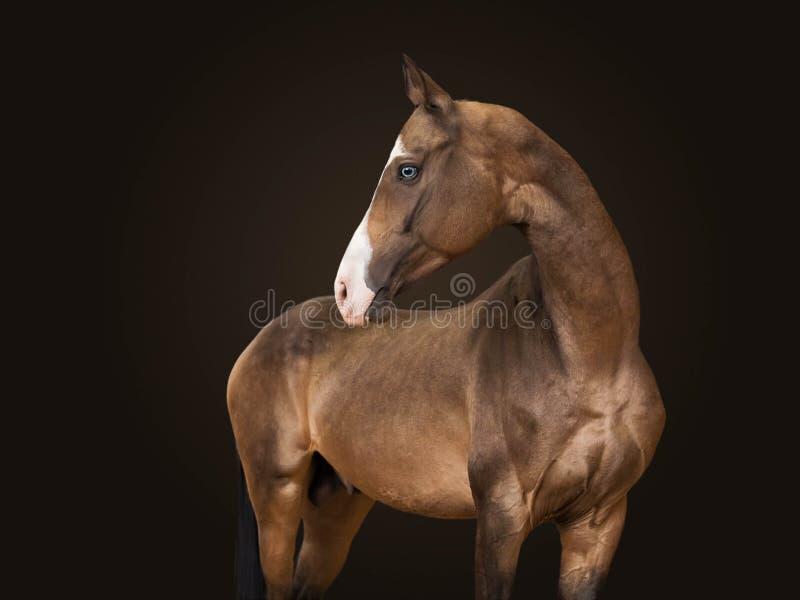 Retrato um garanhão do puro-sangue da cor marrom da raça Akhalteke Fundo preto fotografia de stock