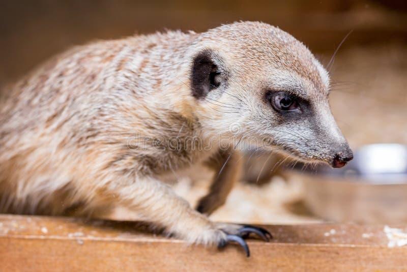 Retrato un primer del meerkat en un background_ borroso marrón oscuro fotos de archivo