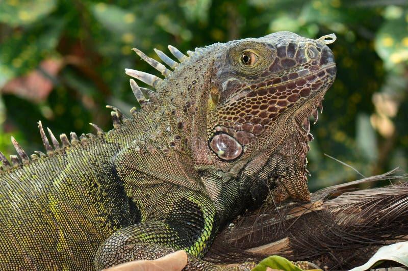 Retrato verde da iguana fotografia de stock royalty free