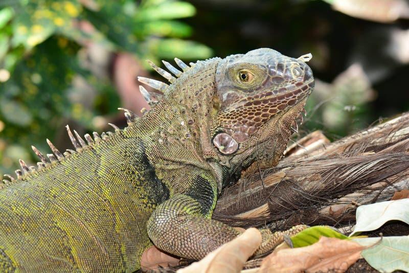 Retrato verde da iguana fotos de stock royalty free
