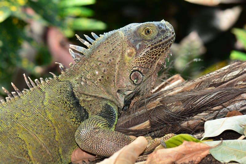 Retrato verde da iguana imagem de stock