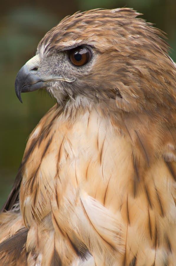 retrato Vermelho-atado do falcão fotografia de stock