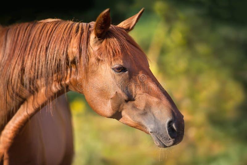 Retrato vermelho do cavalo fotografia de stock royalty free