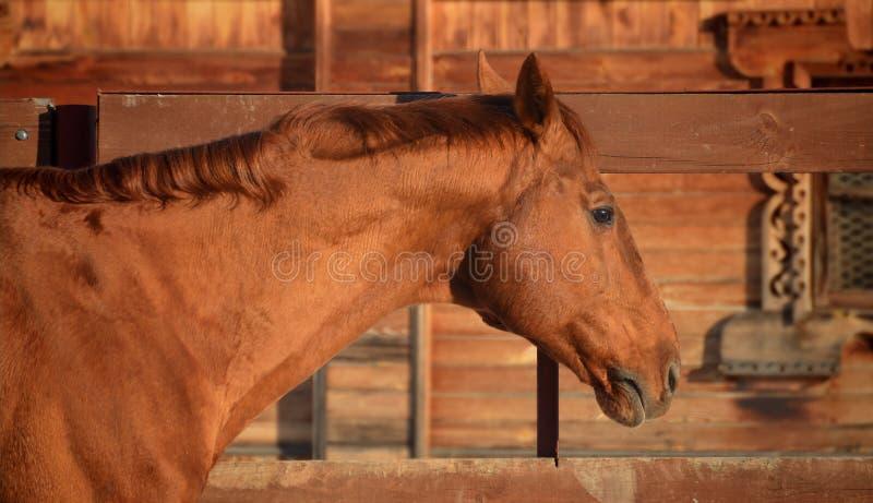 Retrato vermelho do cavalo fotos de stock