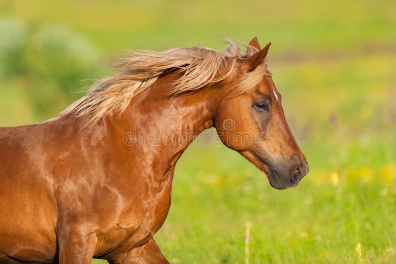 Retrato vermelho do cavalo imagens de stock