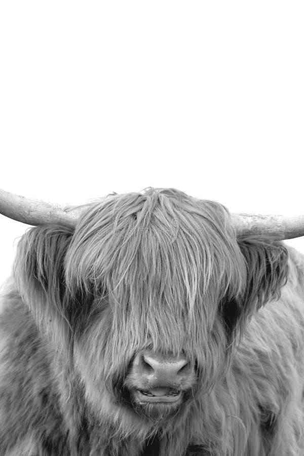 Retrato vertical blanco y negro de una vaca escocesa del ganado de la montaña imagen de archivo libre de regalías