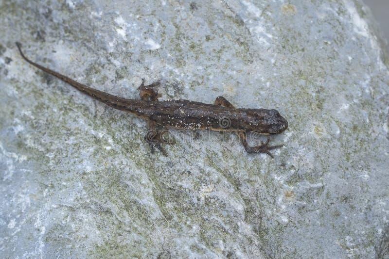 Retrato vulgaris de Lissotriton del newt liso imagenes de archivo