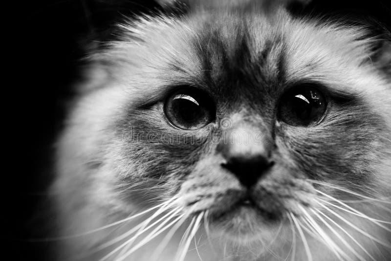 Retratos blancos y negros lindos de los animales del gato burmese imagen de archivo libre de regalías