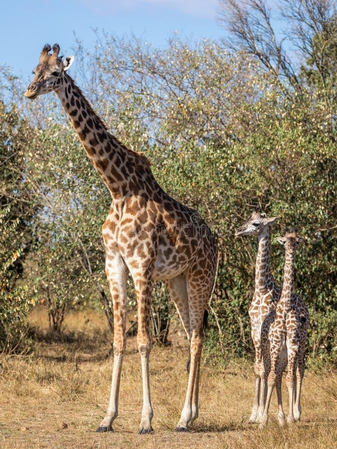 Retratos completos do corpo da família do girafa do Masai, com mãe e a prole dois nova na paisagem africana do arbusto com as árv foto de stock royalty free