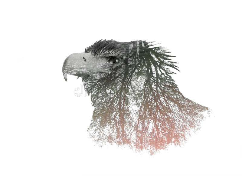 Retratos da exposição dobro de Eagle foto de stock
