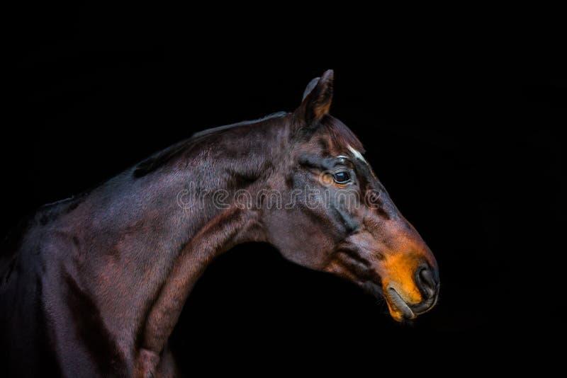 Retratos de caballos fotografía de archivo libre de regalías