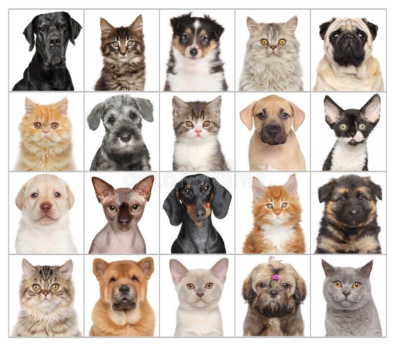 Retratos do animal de estimação isolados no branco fotografia de stock