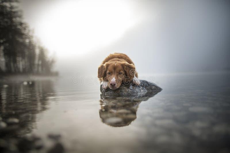 Retriever διοδίων παπιών της Νέας Σκοτίας βρίσκεται σε έναν βράχο σε μια λίμνη Όμορφο σκυλί στο καταπληκτικό τοπίο στοκ φωτογραφία με δικαίωμα ελεύθερης χρήσης