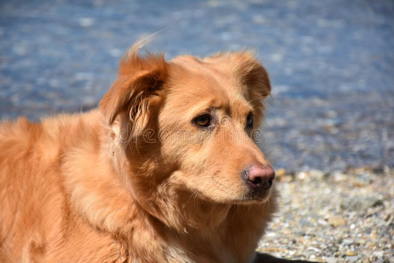 Retriever διοδίων παπιών της Νέας Σκοτίας καθορισμός σκυλιών στοκ εικόνες με δικαίωμα ελεύθερης χρήσης