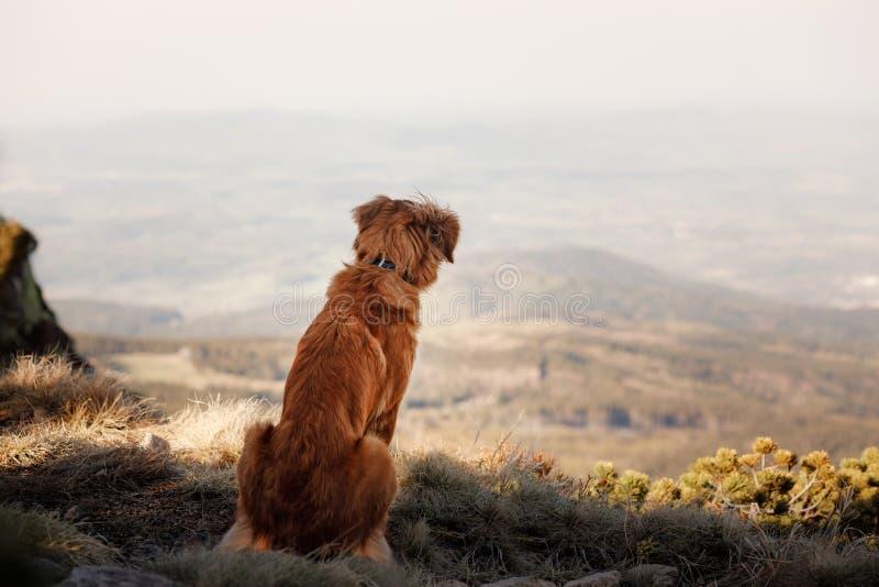 Retriever διοδίων παπιών της Νέας Σκοτίας κοιτάζει πέρα από την κοιλάδα στοκ εικόνες