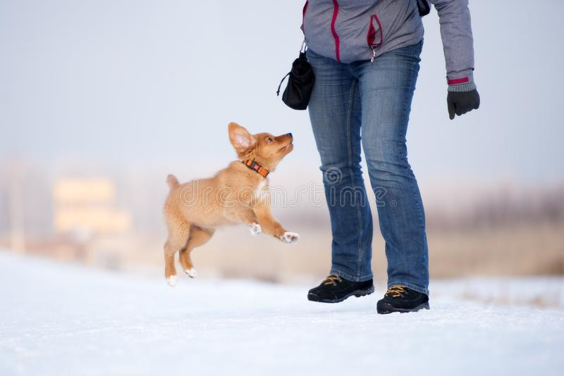 Retriever διοδίων παπιών της Νέας Σκοτίας κουτάβι υπαίθρια το χειμώνα στοκ φωτογραφίες