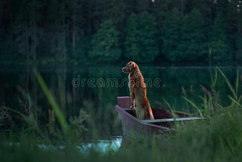 Retriever διοδίων παπιών της Νέας Σκοτίας σκυλί στη συνεδρίαση φύσης στην ξύλινη γέφυρα και την εξέταση τη λίμνη στοκ εικόνες