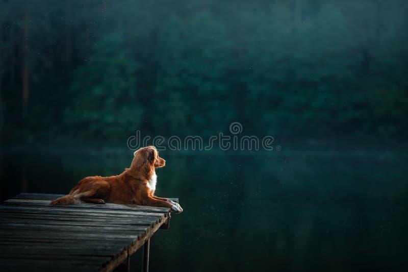 Retriever διοδίων παπιών της Νέας Σκοτίας σκυλί στη συνεδρίαση φύσης στην ξύλινη γέφυρα και την εξέταση τη λίμνη στοκ φωτογραφία με δικαίωμα ελεύθερης χρήσης