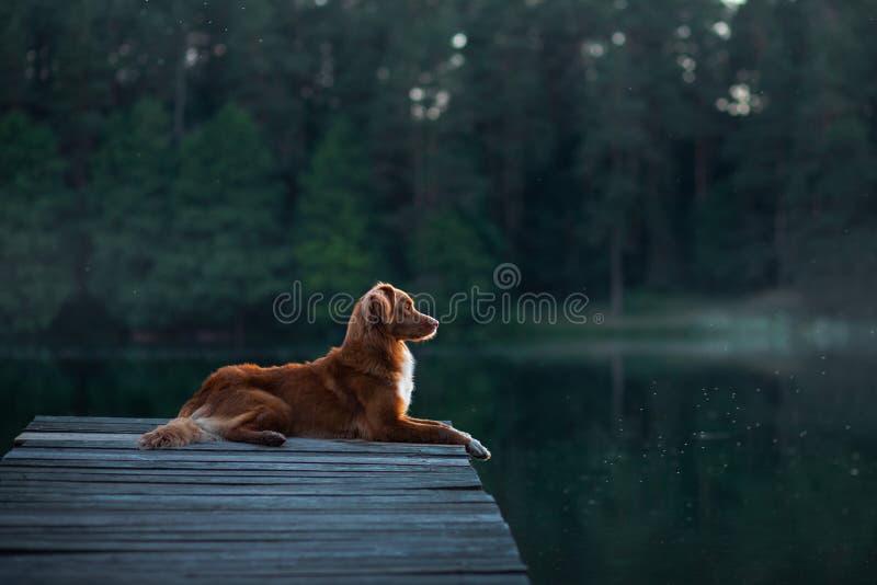 Retriever διοδίων παπιών της Νέας Σκοτίας σκυλί στη συνεδρίαση φύσης στην ξύλινη γέφυρα και την εξέταση τη λίμνη στοκ φωτογραφίες
