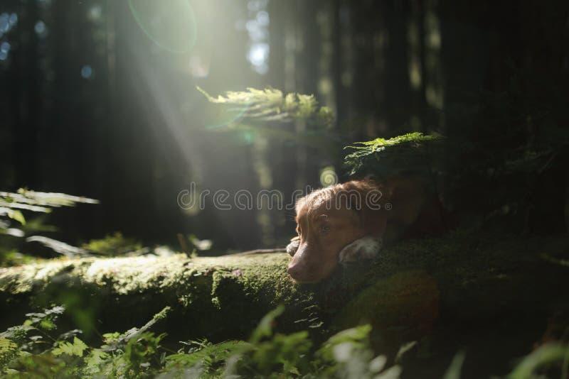 Retriever διοδίων παπιών της Νέας Σκοτίας σκυλιών βρίσκεται σε ένα δέντρο fores στοκ φωτογραφία