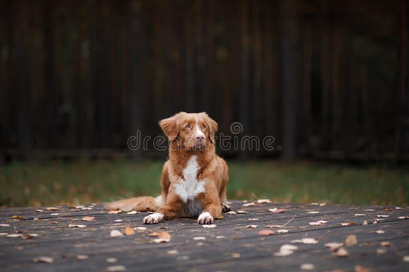 Retriever διοδίων παπιών της Νέας Σκοτίας σκυλιών βρίσκεται σε ένα κομμάτι του ξύλου στοκ φωτογραφίες με δικαίωμα ελεύθερης χρήσης